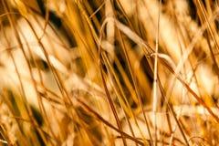 Golden grass close up Stock Image