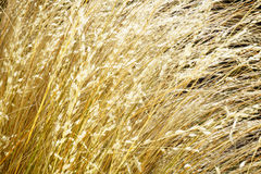 Golden grass closeup Royalty Free Stock Images