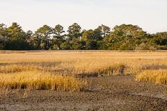 Golden Grass in Dry Marsh Stock Photo