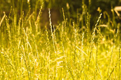 Golden grass Royalty Free Stock Photo