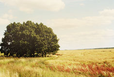 Golden grass field in a sunny, windy day Royalty Free Stock Photos