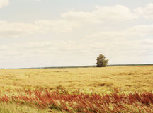 Golden grass field in a sunny, windy day Stock Photos