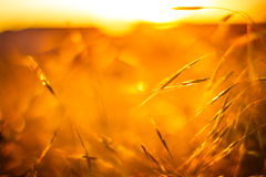 Golden Grass field under soft sunshine. Defocus blur natural background with autumn color filters Royalty Free Stock Photos