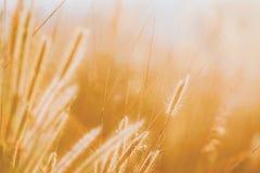 Golden Grass Flower, Focus shoot at grass flower.  stock photo