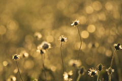 Golden grass flowers Stock Image