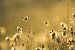 Golden grass flowers royalty free stock photo