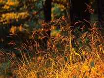 Golden grass in forest at sunset Royalty Free Stock Image