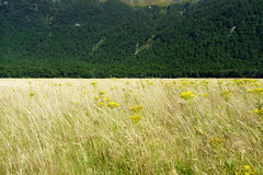 Golden grass interspersed with yellow ragwort flower swaying in a valley breeze contrasts with deep green New zealand bush Stock Photo