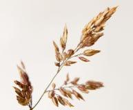 Golden grass leaf close up detail water dew droplets white backg Royalty Free Stock Image