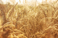 Golden grass in a meadow at sunset Stock Images
