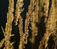 Golden grass nature abstract Stock Image