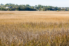 Golden Grass in Salt Water Wetland Marsh Royalty Free Stock Images