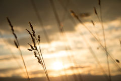 Golden grass Stock Photos