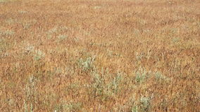 Golden grass sway in the wind. Spikes, swaying, withered, steppe, stock footage
