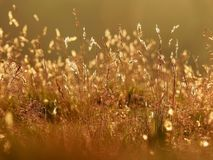 Golden grasses bathed in sunlight Royalty Free Stock Image