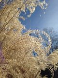 Golden grasses and blue sky Stock Photography