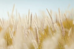 Golden grasses in field Royalty Free Stock Images