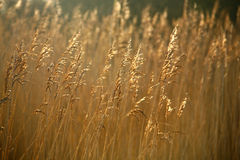 Golden grasses in sunlight Stock Photo