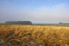 Golden grasses with woodland. Golden grasses with frost in winter in an agricultural yorkshire wolds landscape with woods under a misty blue sky Stock Image