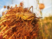 Golden grasshopper Royalty Free Stock Photography