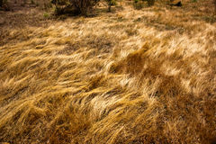 Golden Grassland Royalty Free Stock Photo
