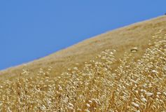 Golden grassy hillside and blue sky Royalty Free Stock Images