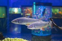 Golden gray mullet royalty free stock photo