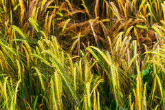 Golden and green barley field Stock Image