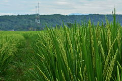 Golden Green. Beautiful Paddy Field view in the early of the morning Stock Photos