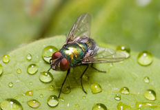 Golden-green bottle fly on a leaf, three quarters Royalty Free Stock Photos