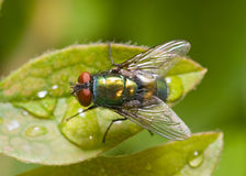 Golden-green bottle fly on a leaf, top view stock images