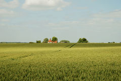 Golden green cornfields. With farmhouse on the horizon stock images
