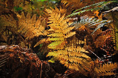 Golden and green ferns in autumn in forest Stock Photo