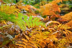 Golden and green ferns in autumn in forest Royalty Free Stock Photography