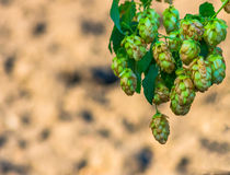 Golden Green hop cone Stock Image