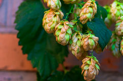 Golden Green hop cone Royalty Free Stock Image