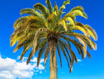 Golden and green palm tree against blue sky Stock Photo