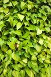Golden green Pothos texture background Royalty Free Stock Photo
