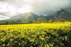 Golden green tea plantations at the foot of mount Mulanje. In Malawi, Africa Stock Photography