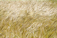 Golden-green waves. Golden-green stalks of wheat waving in the breeze Stock Photography