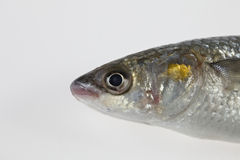 Golden grey mullet Liza aurata Stock Images