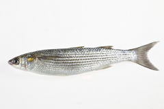 Golden grey mullet Liza aurata Stock Photo