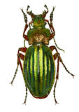 Golden Ground Beetle on white Background. Carabus auronitens Fabricius, 1792 Royalty Free Stock Photo