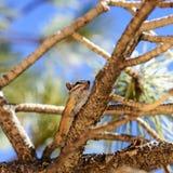 Golden ground squirrel Stock Photo
