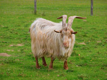 Golden Guernsey Goat facing the camera and smiling Stock Images