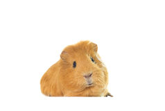 Golden guinea pig Royalty Free Stock Photos