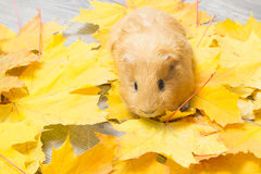 Golden guinea pig Stock Photo