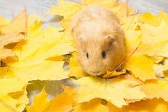Golden guinea pig Stock Photo
