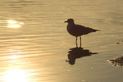 Golden Gull. A gull basking in the morning sun on the Tennessee River, Knoxville, Tennessee stock images