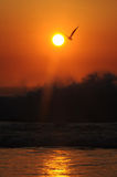 Golden Gull. Seagull hovers above wave with setting sun behind Royalty Free Stock Photos